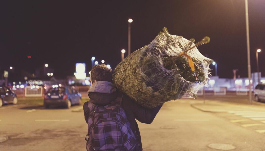 Cairka 300 000 juletrær transporteres til Norge fra våre naboland. En annen småkrypfauna enn den norske kan følge med på lasset. (Illustrasjonsfoto: Halfpoint / Shutterstock / NTB scanpix)
