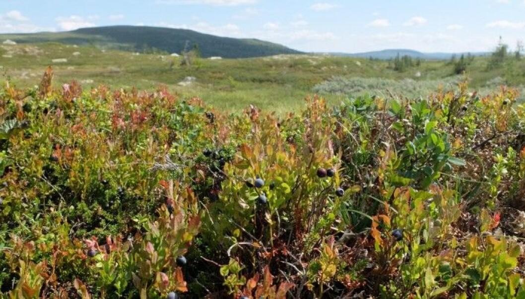 Før de ble plukket, sto blåbærene her, på fjellet mellom Rjukan og Tuddal. (Foto: Eivind Torgersen)