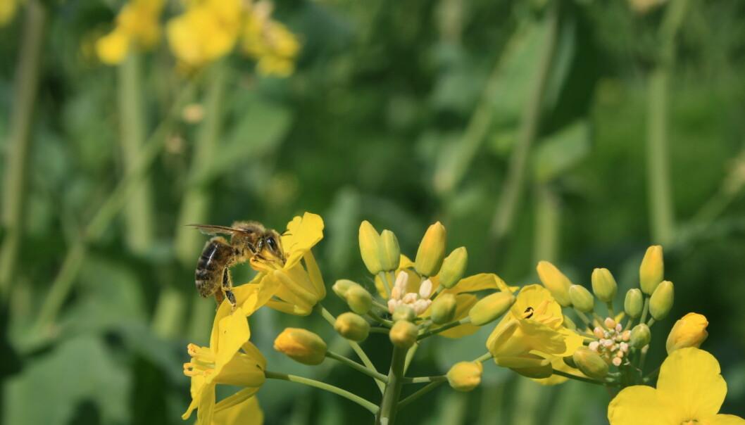 – Vi sulter ikke ihjel om biene blir borte
