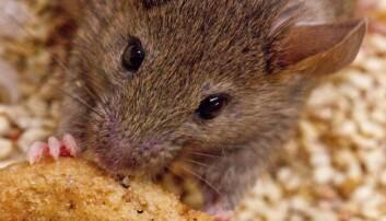 Musa har fått tak i en sjokoladekjeks. Musene i forsøket som fikk stimulert hjernen med en laser, kastet seg straks over maten - særlig mat med mye fett i. (Foto: Anthony van den Pol)