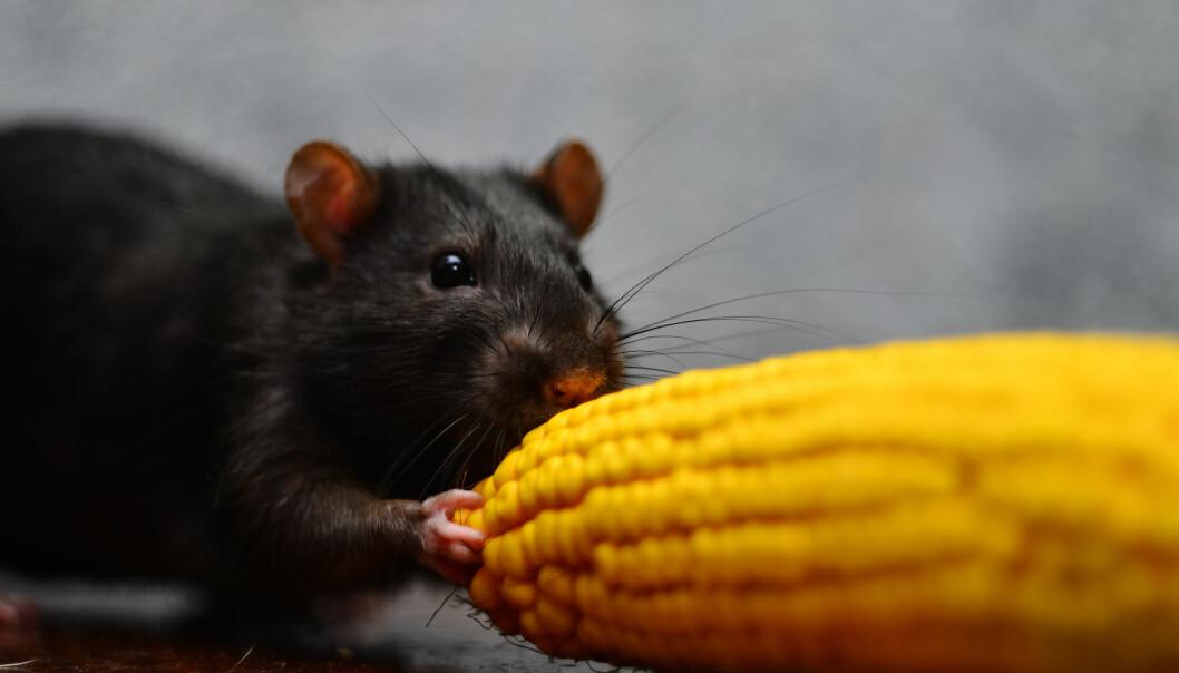 Svært lite tyder på at det er helseskadelig å spise genmodifisert mais. (Illustrasjonsfoto: mairbird / Shutterstock / NTB scanpix)