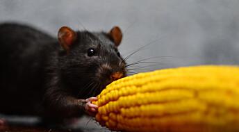 Rotteforsøk: Genmodifisert mais ga ikke helseproblemer