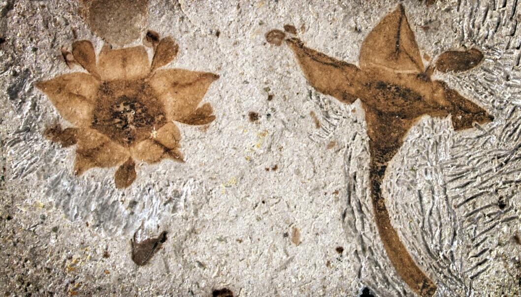Blomsten som ble funnet i Argentina kan ha klart å komme tilbake etter katastrofen, i motsetning til dinosaurene. (Foto: Nathan Jud, Cornell University)