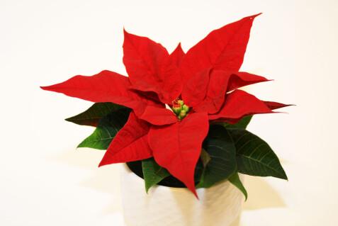 Utrolig Dette gjør du feil når du kjøper julestjerne YR-52