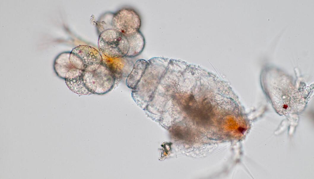 Hoppekrepsen blir blant annet brukt i tran. Nå har forskere testet om den er påvirket av stråling fra radioaktive utslipp i Arktis og Antarktis.  (Foto: Shutterstock / NTB scanpix)