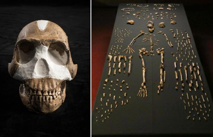 Skallen til Homo naledi som ble funnet i Rising Star-grotten i Sør-Afrika. Til høyre: «Skjellettet» i midten er satt sammen av beinbiter fra flere individer. (Foto: John Hawks, Wits University)
