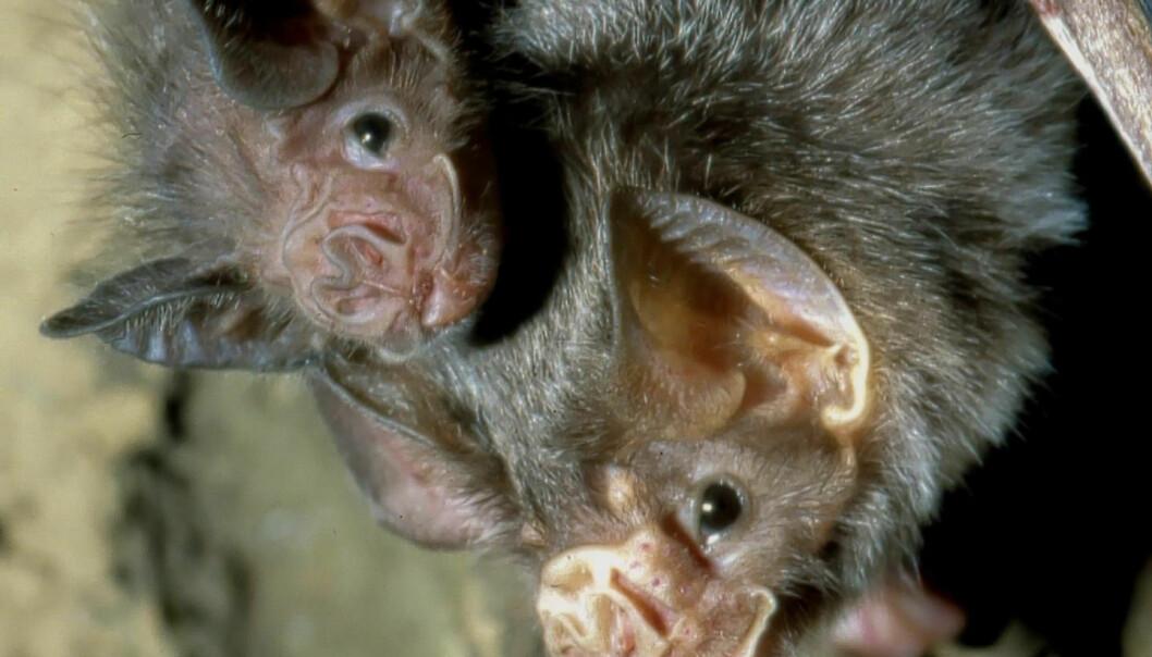 En flaggermusmor med unge. Vampyrflaggermusene deler ofte blod de har spist med familiemedlemmer som ikke har hatt hell i jakta.  (Foto: Uwe Schmidt)