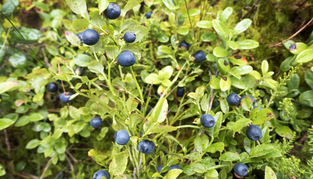 Det var mye blåbær i fjor, både i Norge og Sverige. Men de siste årene har det blitt færre blåbærris å høste i nabolandet. (Foto: Gorm Kallestad/NTB scanpix)