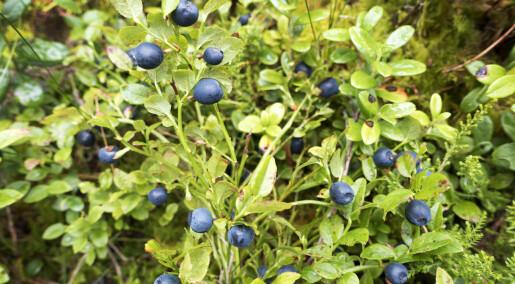 Store trær truer blåbær