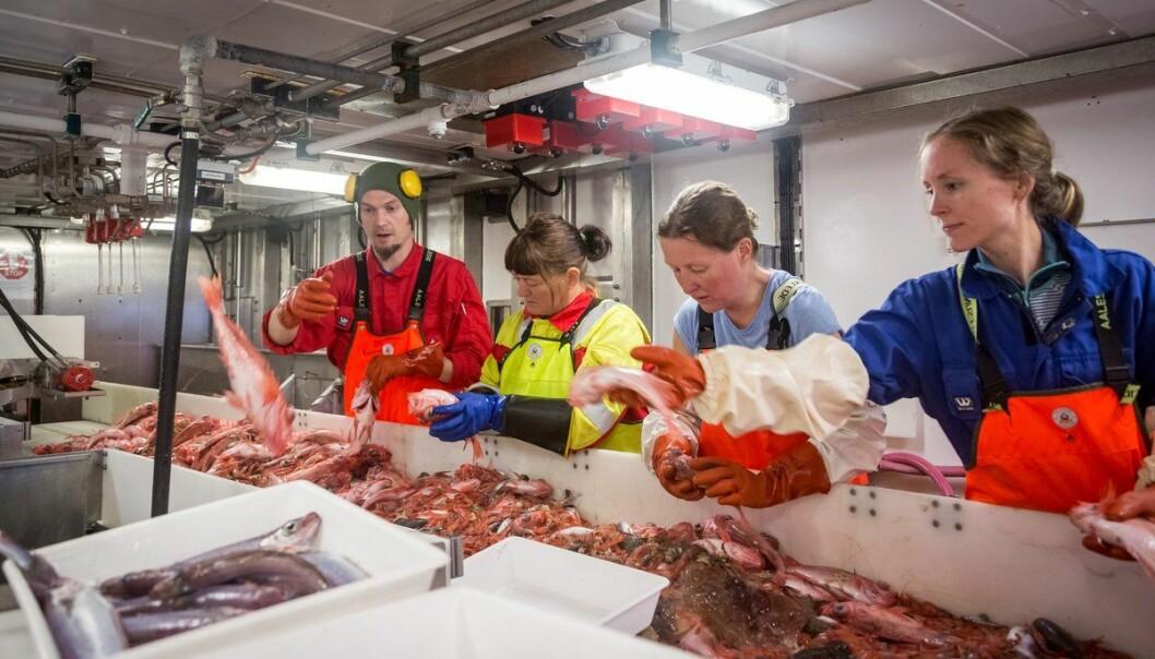 Erlend Langhelle, Irene Huse, Anne Kari Sveistrup og Stine Karlson sorterer fangsten frå ein botntrål. (Foto: Erlend A. Lorentzen / Havforskingsinstituttet)
