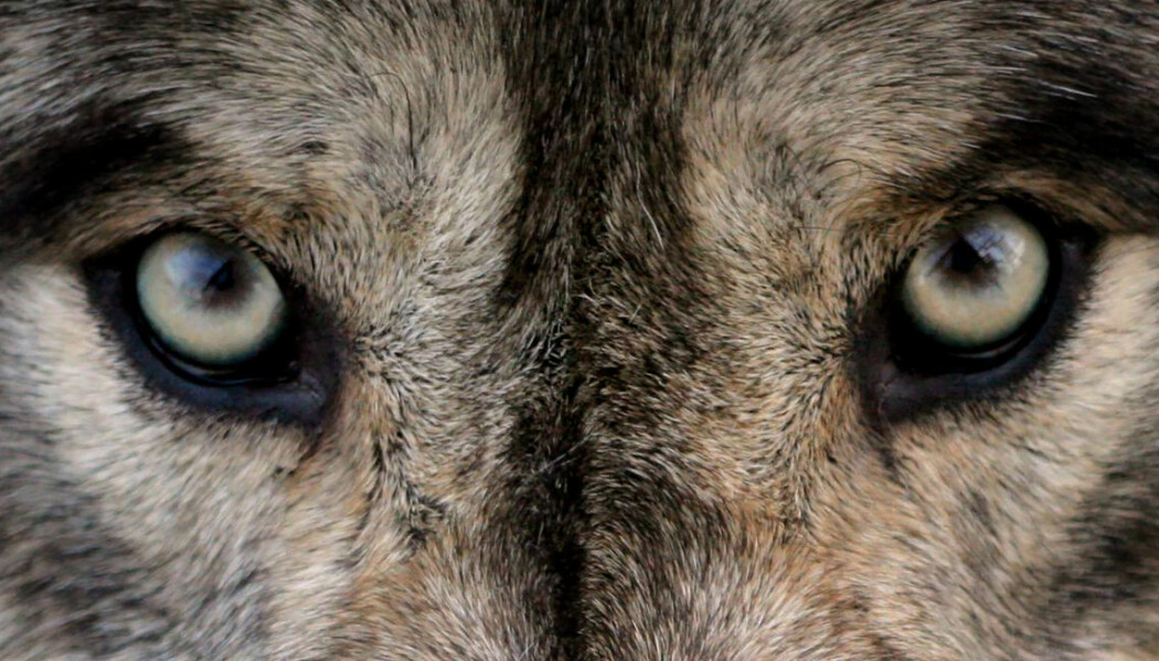 Om man hadde skutt enkelte dyr nær bebyggelse isteden for hele flokken, kan effekten like godt bli motsatt av det man ønsker, mener økolog Barbara Zimmermann. (Foto: Shutterstock)