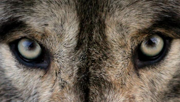 Kan ulven lære seg at mennesker er farlige?