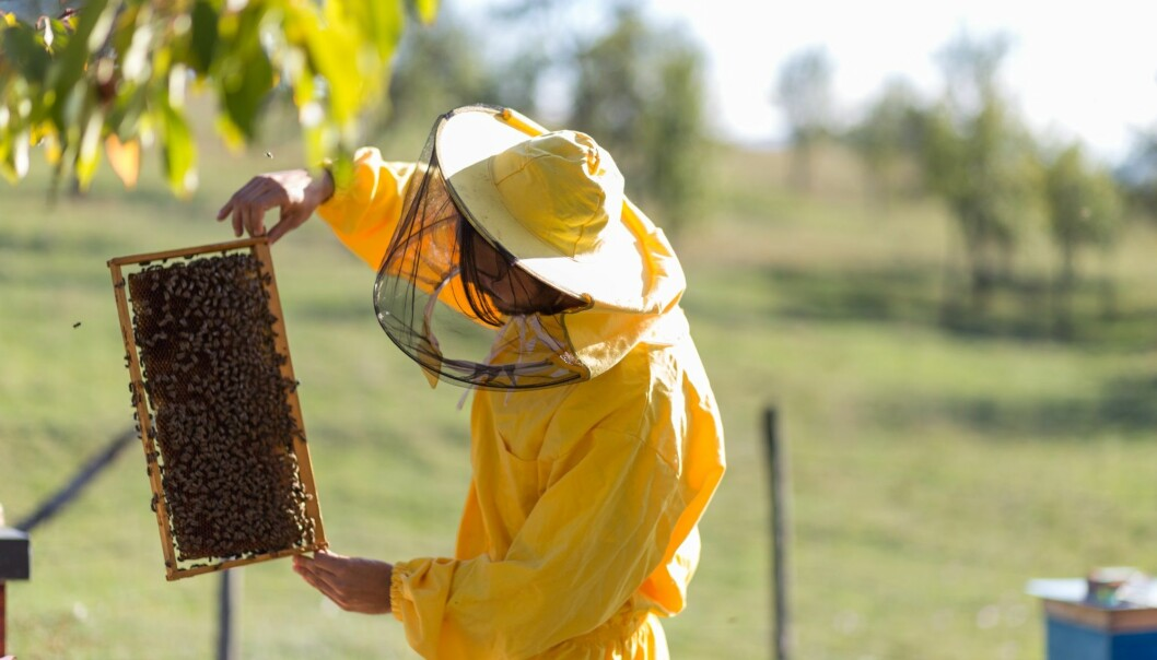 Vaksinen skal gis til dronningbien i form av mat, så vil hun overføre immunitet til avkommene sine. (Foto: Milos_Perkovic / Shutterstock / NTB scanpix).