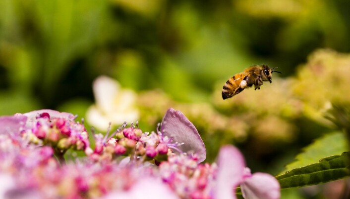 Bier gjør en viktig jobb i å pollinere blomster og matplanter. (Foto: columbo.photog / Shutterstock / NTB scanpix)