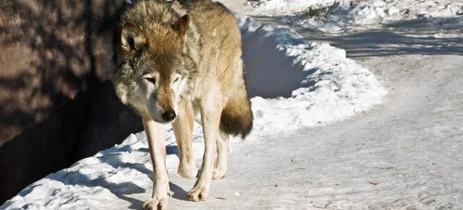 Er det lov at forskere som ikke er ulveforskere interesserer seg for ulveforskning?