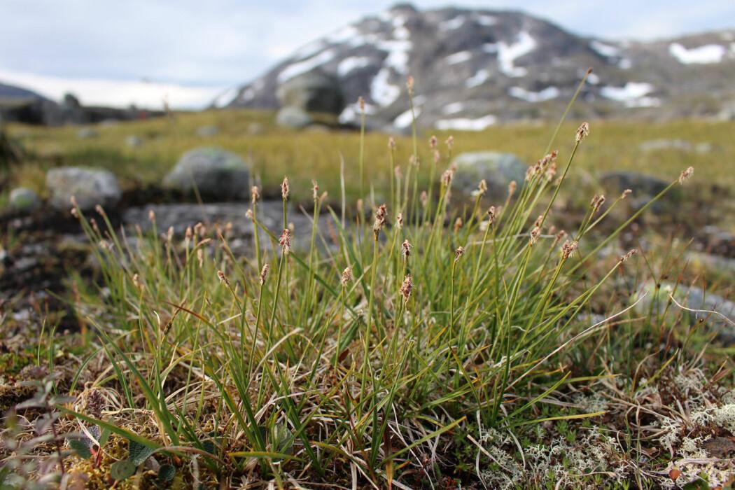 Hannplanter av grønlandsstarr ved Kjelvatn i Ballangen kommune, Nordland – rett i nærheten av Frostisen. (Foto: Kristine Bakke Westergaard)