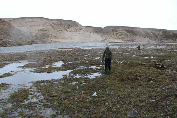 Ikke alle feltdøgn er like glamorøse – her leter vi etter grønlandsstarr i iskaldt regn i verdens største nasjonalpark Nordøst-Grønland. (Foto: Kristine Bakke Westergaard)