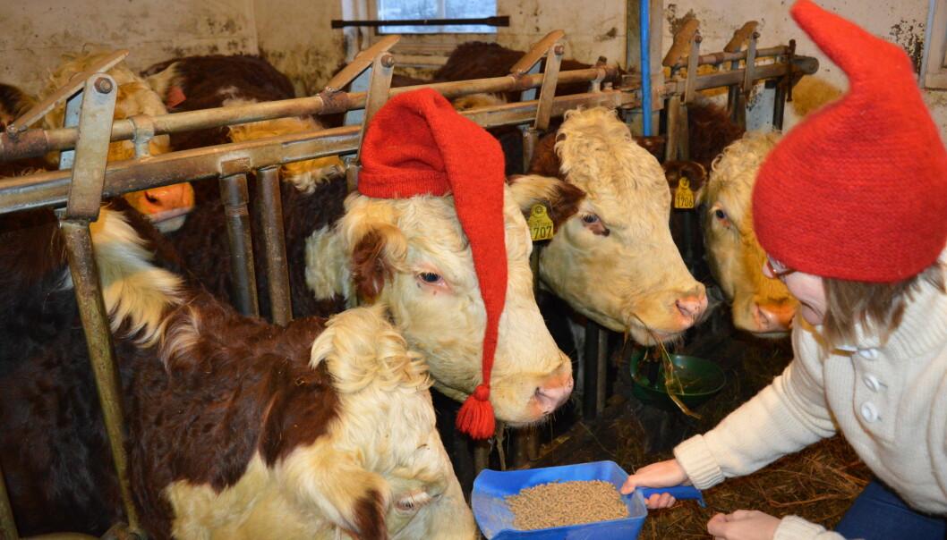 Julestemning i fjøset til forsker Eva Narten Høberg. Her får kyrne rikelig med fôr gjennom vinteren. (Foto: Emil Narten Høberg)