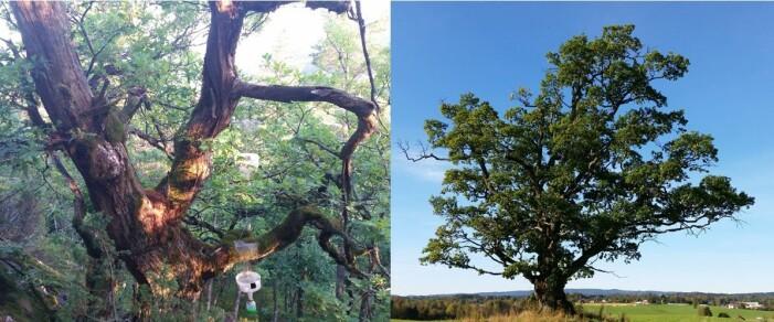 Dagens gamle eiketrær kan stå omgitt av andre eiketrær eller helt alene. I eika til venstre har vi hengt opp feller for å fange biller. (Foto: Hanne Eik Pilskog)