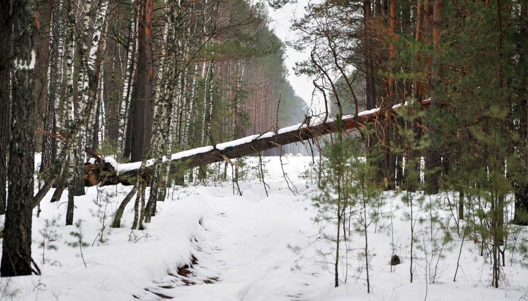 Hvis ingen fjerner det, kan det ta lenger enn et menneskeliv før treet er borte.(Foto: Colourbox)