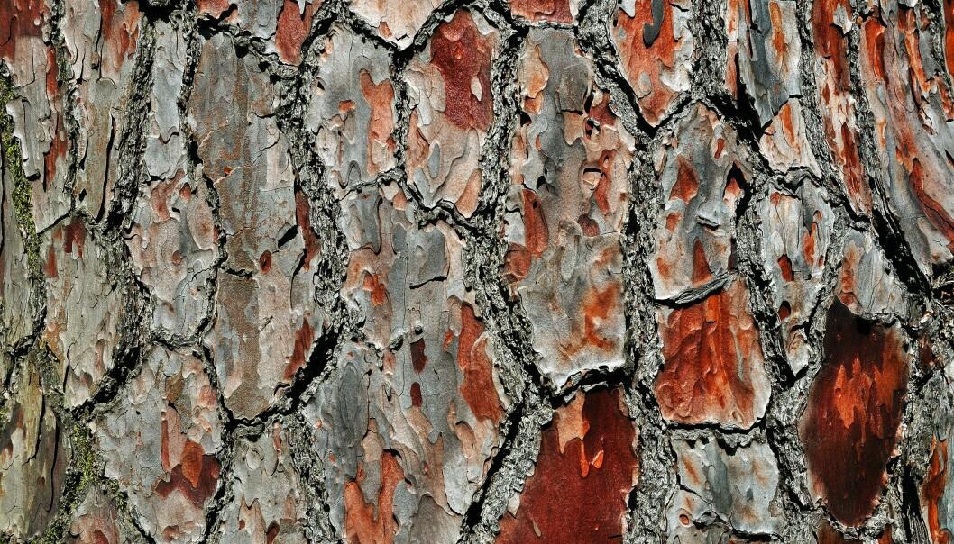Furutrær har mer beskyttende stoffer i seg enn grantrær. Derfor tar det lengst tid før furutrær forsvinner. (Foto: Colourbox)