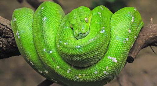 Derfor vil ikke veterinærene og dyrevernerne ha reptiler som selskapsdyr i Norge