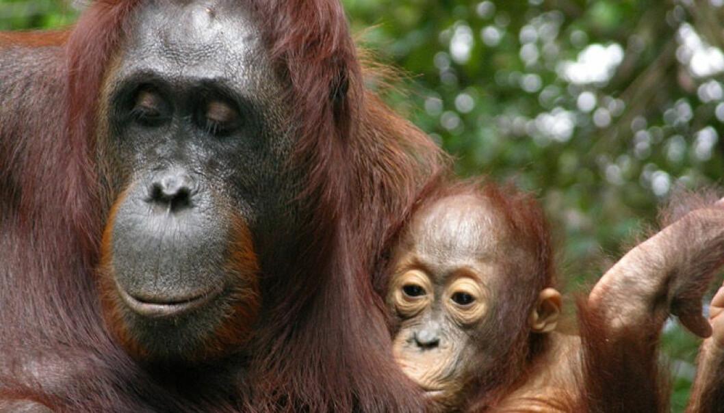 Derfor ammer orangutangene til ungene blir ni år gamle