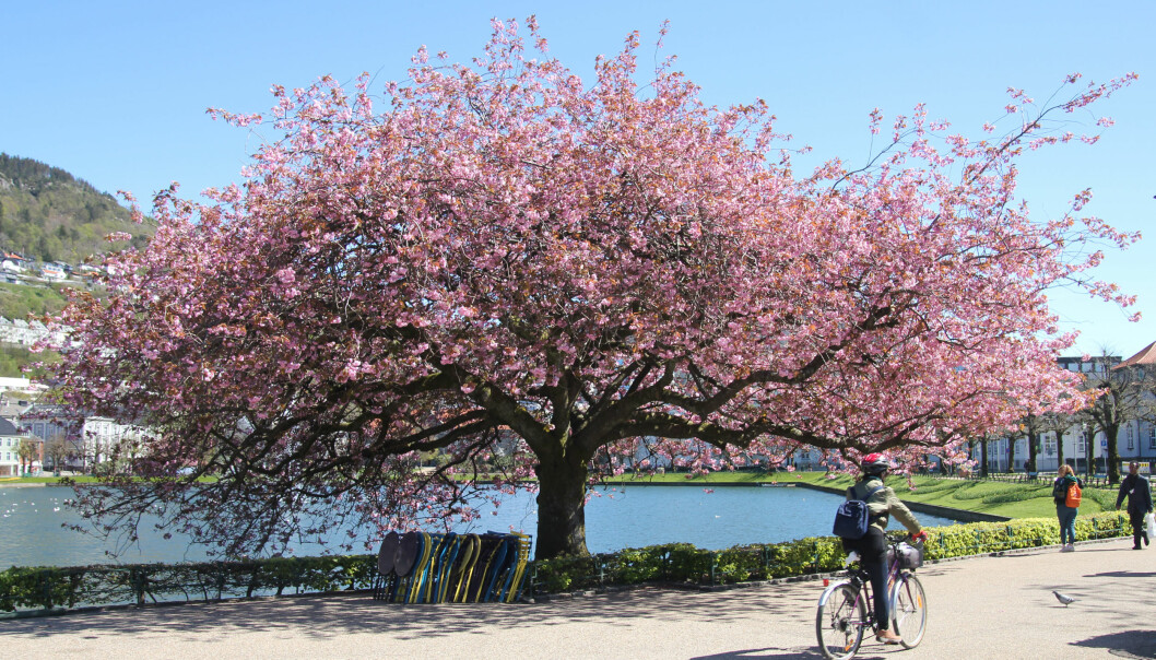 Japanske kirsebærtre avslører klimaendringar