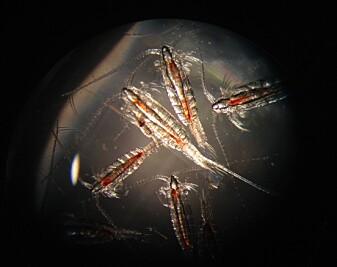 Raudåte (Calanus finmarchicus) fins overlat i arktiske havområder og er svært viktig for næringskjeden. (Foto: Kim Last/SAMS)