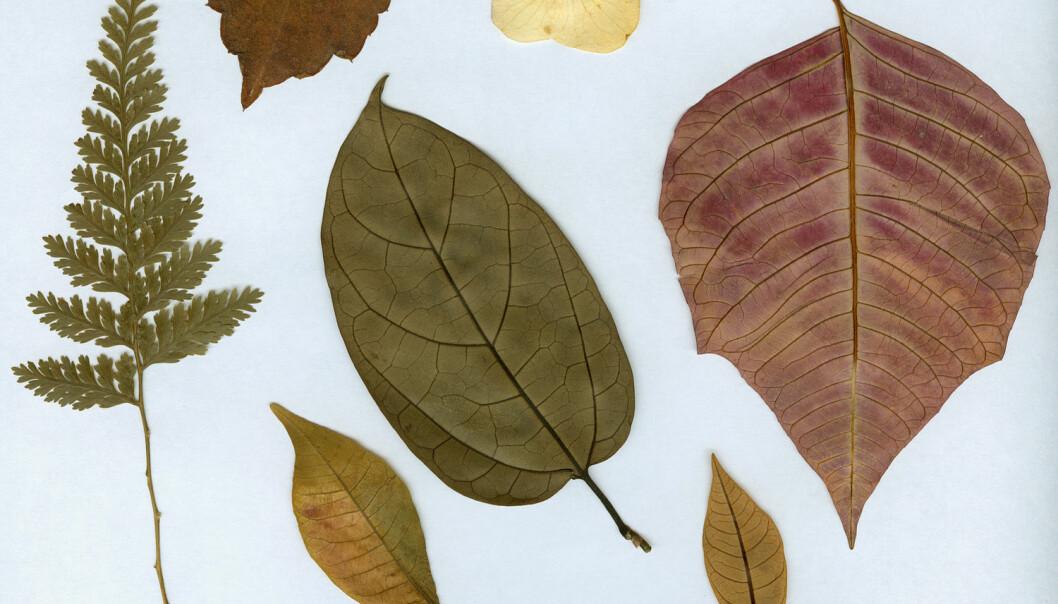 Tørkede planter er presset flatt sammen på papir. Det gjør det mulig å digitalisere dem med samme metoder som man bruker til å digitalisere bøker. Luis Carlos Torres / Shutterstock / NTB scanpix
