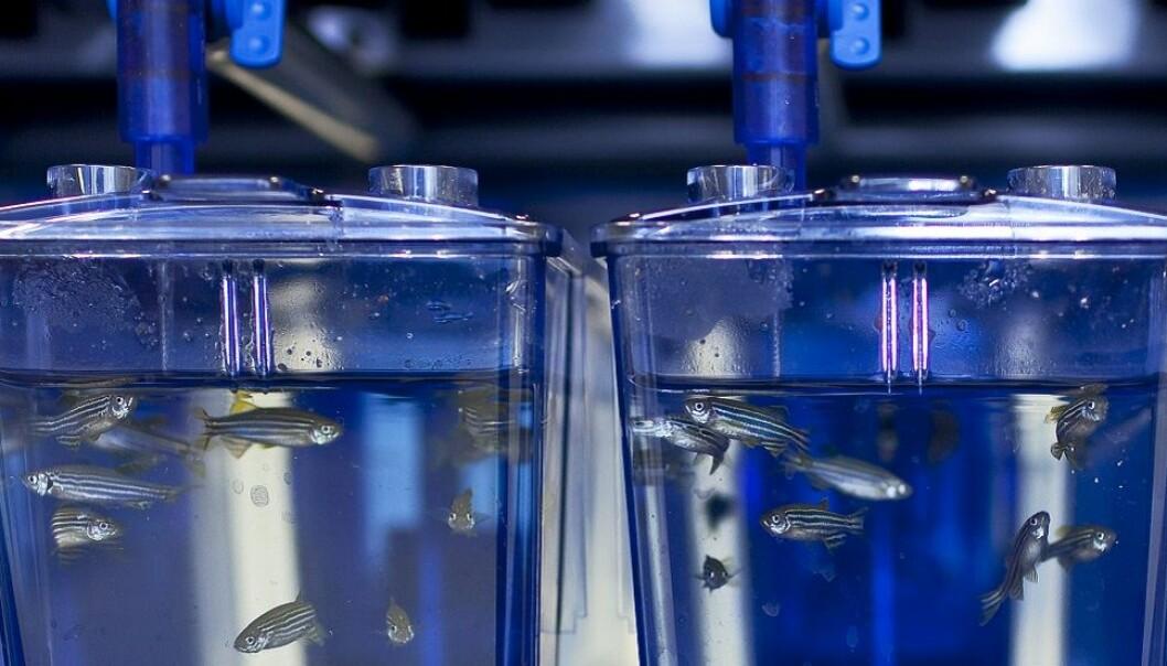 Gruppen har valgt å forske på larver av sebrafisk. (Foto: Kavli Insitute for Systems Neuroscience)