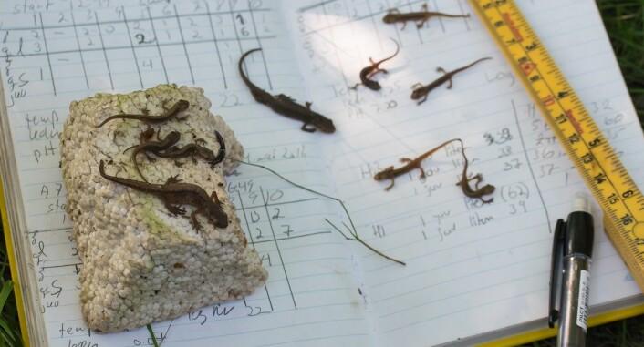 Nattens fangst fra salamanderhotell nr 3 telles og måles. (Foto: Børre K. Dervo ©)