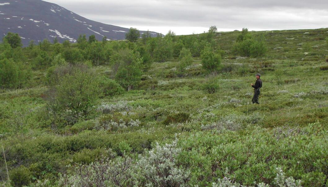 Overvåkingen av hekkebestandene for fugl i Norge utføres ved opptelling av fugl i et nettverk av cirka 500 telleruter spredt over hele landet. Hver tellerute består av 20 tellepunkt og opptellinger gjøres på forsommeren når fuglenes sangaktivitet er stor. (Foto: John Atle Kålås, NINA)