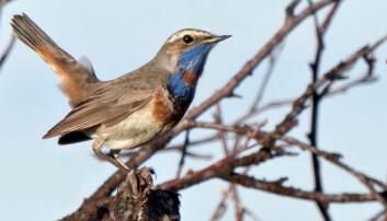 Av småfuglene som hekker i de skandinaviske fjellene er blåstrupe en av få arter som det ikke er registrert bestandsnedgang for. (Foto: John Atle Kålås, NINA)