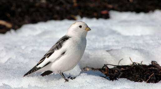 Urovekkende utvikling for fjellfuglene i Europa