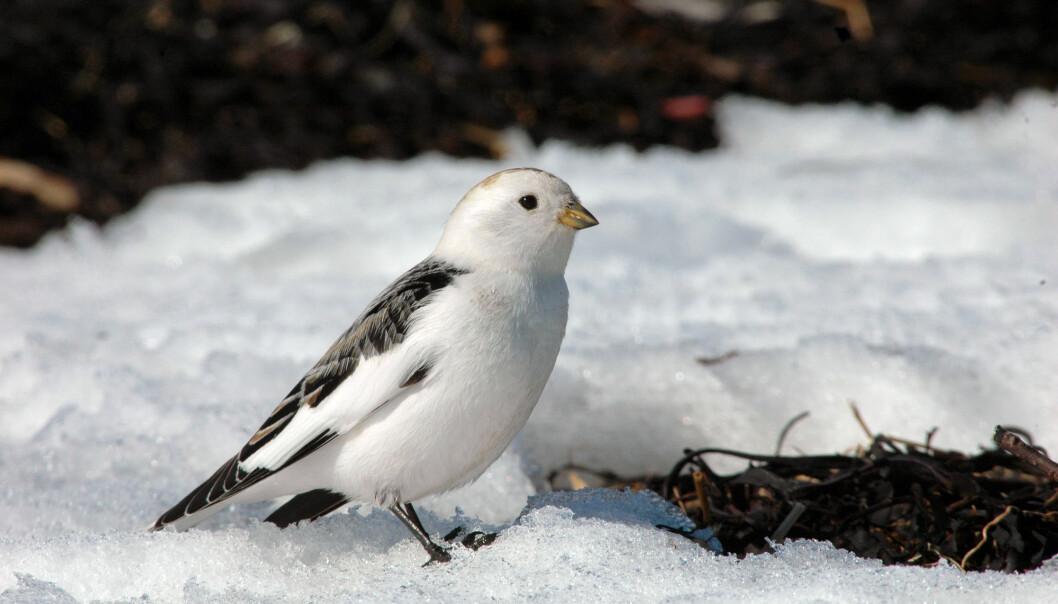 Snøspurven (Plectrophenax nivalis) er en av fjellfuglene det har blitt mindre av i Skandinavia. I tillegg har det blitt færre av lappspurv og heipiplerke. (Foto: Shutterstock / NTB Scanpix)