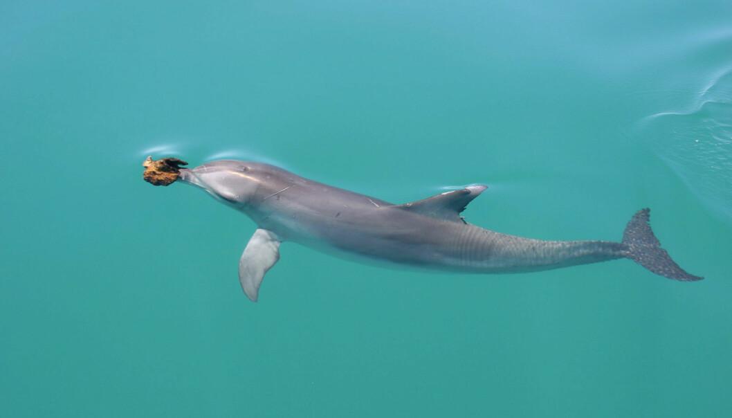 Første gang forskerne så en slik delfin, trodde de dyret hadde en svulst på snuten. Utveksten viste seg imidlertid snart å være en svamp. Og det var ingen tilfeldighet at delfinen bar rundt på den. (Foto: Ewa Krzyszczyk, Georgetown University)