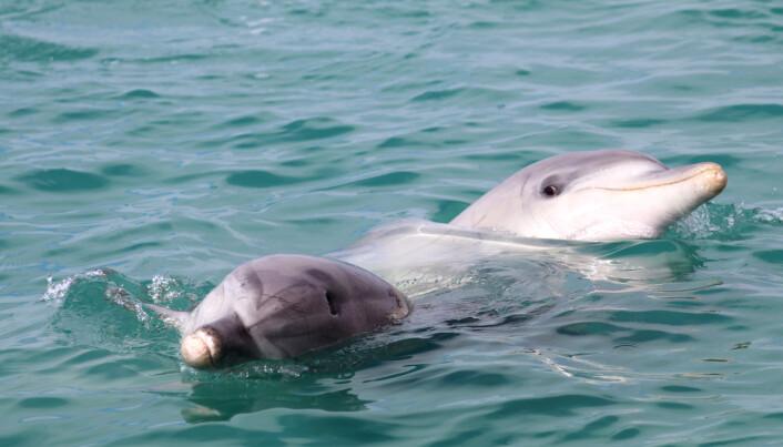Hvorfor er delfiner så like oss?