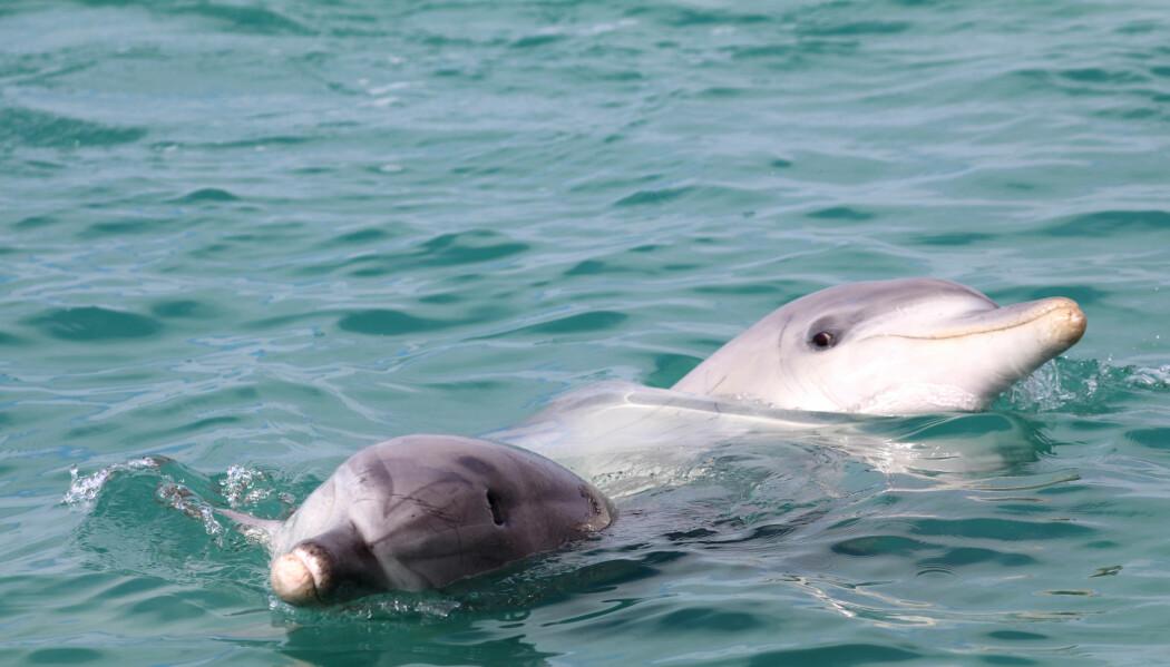 Når forskerne studerer ville delfiner over tid, trer de sosiale strukturene i gruppa fram. Delfinenene på bildet har vært nære venner i mange år. (Foto: Ewa Krzyszczyk, Georgetown University)