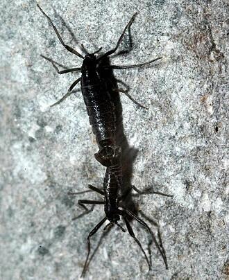 Tenk at de vingeløse fjærmyggene er de største landlevende dyra på Sydpolen. (Bilde fritt til bruk)