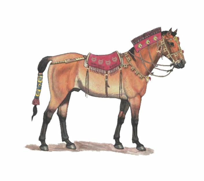 Slik kan den ha sett ut, hesten som ble ofret for 2300 år siden i det som i dag er landet Kasakhstan. (Foto: (IIustrasjon: Carla Schaffer/Zainolla Samashev/AAAS))