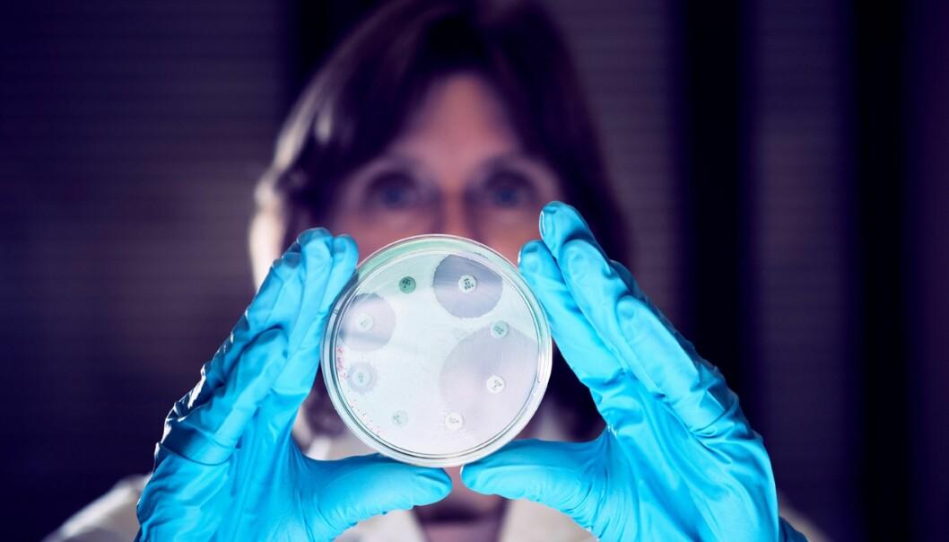 Seniorforsker Marianne Sunde ved Veterinærinstituttet viser petriskål med bakterier der en ser at noen er antibiotikaresistente. (Foto: Eivind Røhne)