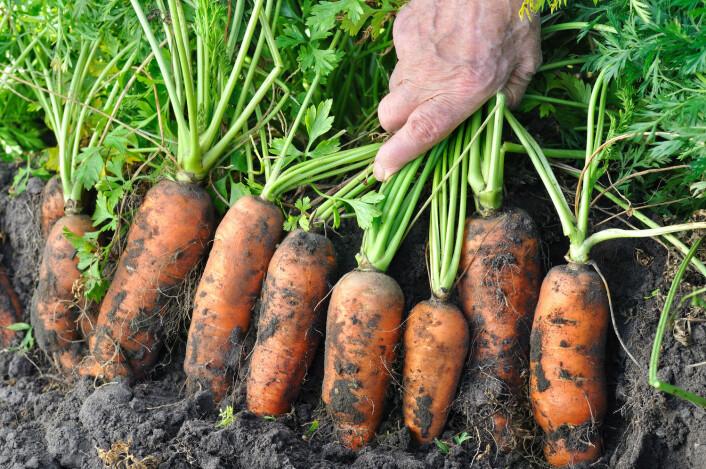 Lurt å vaske grønnsakene sine. (Foto: (Illustrasjonsbilde: Shutterstock/NTB Scanpix))