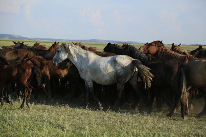 På slettene i Kasakhstan driver folk fortsatt med hestetemming. (Foto: Ludovic Orlando, Natural History Museum of Denmark, CNRS)