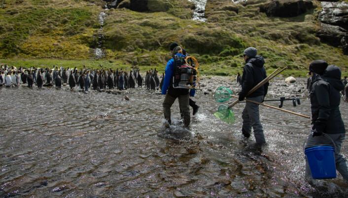 Vi benyttet stoppet ved Crozet til å gjøre fiskebiologiske undersøkelser i bekken som renner gjennom øyas største koloni med kongepingvin. Her finnes det både ørret og bekkerøye. (Foto: Sindre Eldøy, CC BY-SA 4.0)