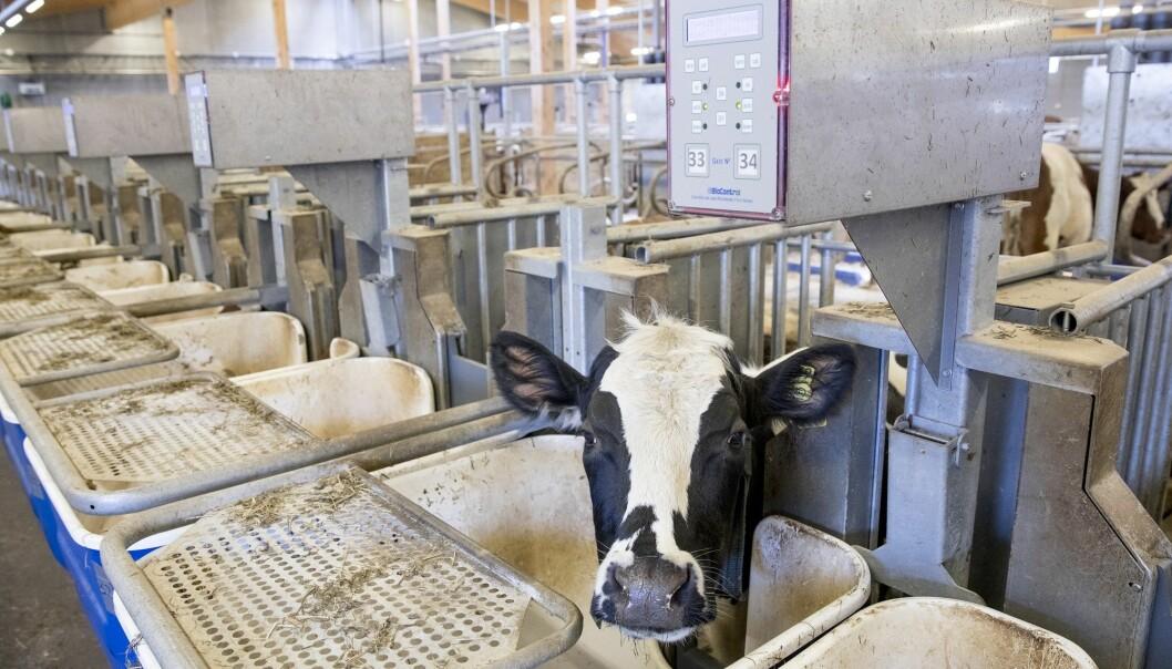 Dette systemet måler hvor mye kua spiser. Kua blir identifisert av en chip og fôrkaret veies før og etter måltidet. (Foto: Håkon Sparre/NMBU)