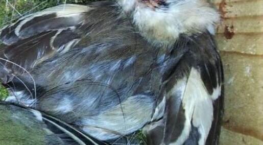 Dødelig kamp i fuglekassene med varmere klima
