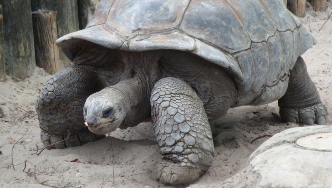 Elefantskillpadder lever på Seychellene i Det indiske hav og på Galapagosøyene i Stillehavet. Den største veide 417 kilo. (Foto: Childzy/CC BY-SA 3.0)