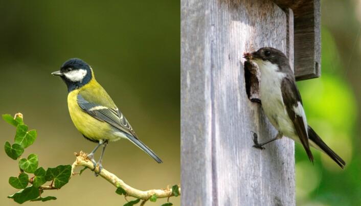 Til venstre en kjøttmeis (<i>Parus major</i>). Til høyre en svarthvit fluesnapper (<i>Ficedula hypoleuca</i>). (Foto: Colourbox)