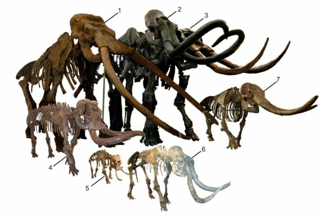 Skjelettene etter fire ulike dvergelefanter, og de to slektningene deres på fastlandet. Disse elefantene står i forskjellige museer og bildet er satt sammen av forskerne bak artikkelen i Journal of Biogeography som du ser referanse til nederst i artikkelen.